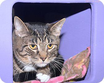 Domestic Shorthair Cat for adoption in Medina, Ohio - Peeta