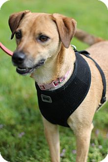 Terrier (Unknown Type, Small)/Chihuahua Mix Dog for adoption in Grants Pass, Oregon - Sadie