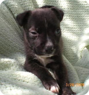 Shepherd (Unknown Type)/Labrador Retriever Mix Puppy for adoption in Long Beach, California - Stone Fur