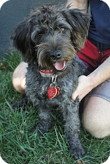 Schnauzer (Miniature)/Poodle (Miniature) Mix Dog for adoption in Van Nuys, California - Dixie