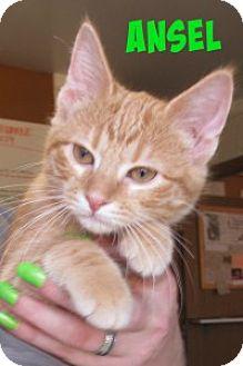 Domestic Shorthair Kitten for adoption in Chisholm, Minnesota - Ansel