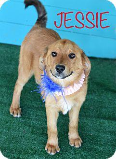 Shepherd (Unknown Type)/Golden Retriever Mix Dog for adoption in Denver, Colorado - Jessie