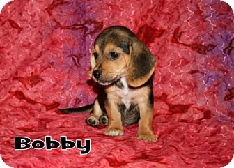 Dachshund/Beagle Mix Puppy for adoption in Green Cove Springs, Florida - Bobby