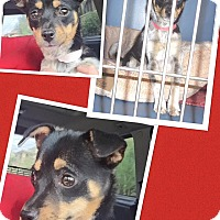 Adopt A Pet :: Maple - Scottsdale, AZ