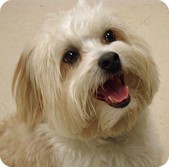 Cockapoo Mix Dog for adoption in Atlanta, Georgia - Bentley