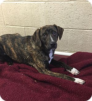 Plott Hound Mix Puppy for adoption in Greensburg, Pennsylvania - Freya