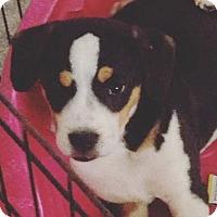 Adopt A Pet :: Bernese/Bulldog Boy - Pompton Lakes, NJ