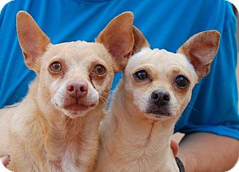 Chihuahua Mix Dog for adoption in Las Vegas, Nevada - Rascal