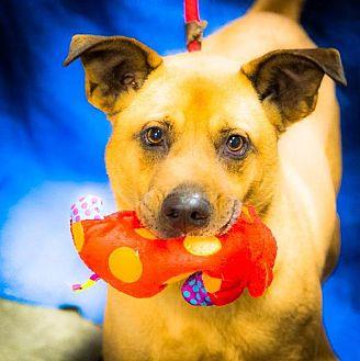 German Shepherd Dog/Chow Chow Mix Dog for adoption in Freeport, New York - Ozzy