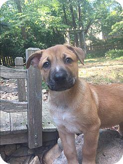 Belgian Malinois/Siberian Husky Mix Puppy for adoption in Atlanta, Georgia - Patches