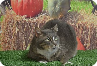 Domestic Mediumhair Cat for adoption in Lebanon, Missouri - Ashley