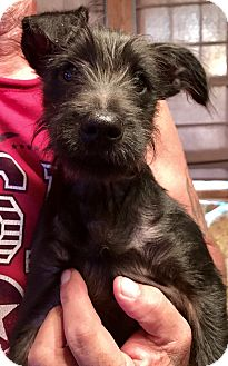 Terrier (Unknown Type, Small) Mix Puppy for adoption in waterbury, Connecticut - Eli