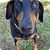 Adopt A Pet :: Bella D - Gainesville, FL