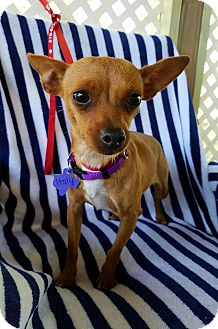 Chihuahua Mix Dog for adoption in Danbury, Connecticut - Italy