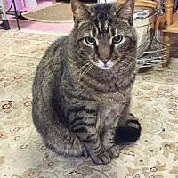 Adopt A Pet :: Kitty Cat Man - Westwood, NJ