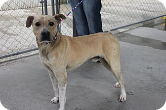 Retriever (Unknown Type) Mix Dog for adoption in Greensboro, North Carolina - Ennis