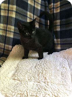 Domestic Shorthair Kitten for adoption in Hampton, Virginia - Mouse