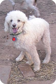 Poodle (Miniature) Dog for adoption in Guthrie, Oklahoma - Champ