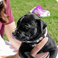 Adopt A Pet :: Pepper Riley - Alpharetta, GA