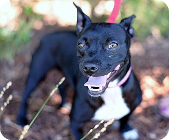 Boston Terrier/Chihuahua Mix Dog for adoption in Knightsen, California - Gretchen