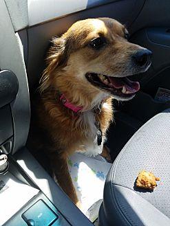 Australian Shepherd/Boxer Mix Dog for adoption in Norman, Oklahoma - Kallie