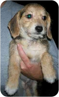 Bichon Frise/Beagle Mix Puppy for adoption in Wauseon, Ohio - Bangle