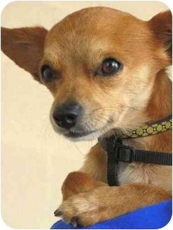 Chihuahua Dog for adoption in Vista, California - Chi Chi
