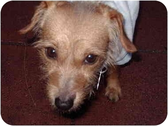 Dachshund/Terrier (Unknown Type, Small) Mix Dog for adoption in Los Angeles, California - Barry