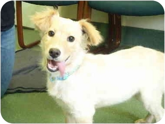 Brittany/Golden Retriever Mix Puppy for adoption in New Fairfield, Connecticut - Kelsey