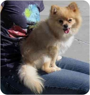 Pomeranian Mix Dog for adoption in Spring Valley, California - Rocky