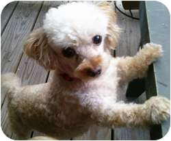 Poodle (Toy or Tea Cup) Dog for adoption in Dover, Massachusetts - Teddy
