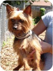 Yorkie, Yorkshire Terrier Dog for adoption in Port Jefferson Station, New York - Harpo