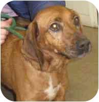 Labrador Retriever/Redbone Coonhound Mix Dog for adoption in Rockville, Maryland - Wrinkles