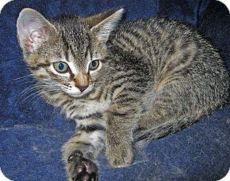 Domestic Shorthair Kitten for adoption in N. Billerica, Massachusetts - Cody