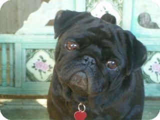 Pug Dog for adoption in Los Angeles, California - Hattie