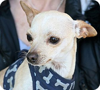 Chihuahua Dog for adoption in Berkeley, California - Kermit
