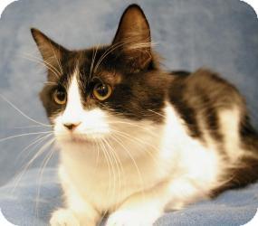 Domestic Mediumhair Cat for adoption in Sacramento, California - Jack