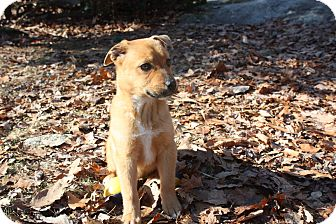 Terrier (Unknown Type, Medium)/Shepherd (Unknown Type) Mix Puppy for adoption in West Milford, New Jersey - GINGER