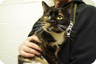 Domestic Shorthair Cat for adoption in Elyria, Ohio - Sophia