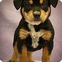 Adopt A Pet :: Rufus - Broomfield, CO