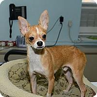 Adopt A Pet :: Johnny Boy - New York, NY