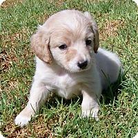 Adopt A Pet :: Little Miss - La Habra Heights, CA
