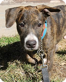 American Pit Bull Terrier/Beagle Mix Dog for adoption in Chicago, Illinois - Thumper