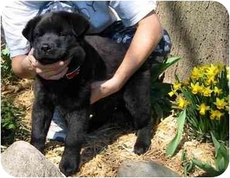 Labrador Retriever/Chow Chow Mix Puppy for adoption in New Carlisle, Indiana - Melanie
