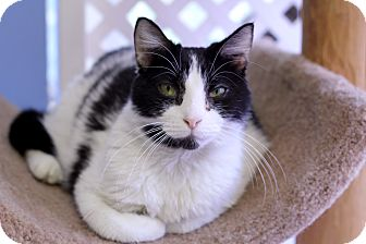 Domestic Shorthair Cat for adoption in Chicago, Illinois - Moobalu
