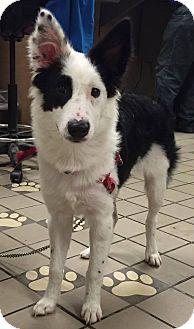 Border Collie Dog for adoption in Allen, Texas - Mr 100