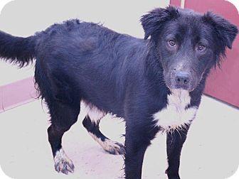 Border Collie Mix Dog for adoption in McDonough, Georgia - HENRICK