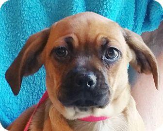 Pug/Dachshund Mix Puppy for adoption in Staunton, Virginia - Yamie