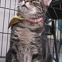 Adopt A Pet :: Nefi - Lakewood, CO