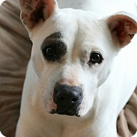 Adopt A Pet :: Angel - CHESTERFIELD, MI